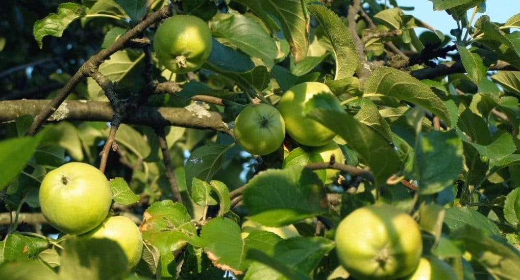 Можно ли есть яблоки до Преображения?