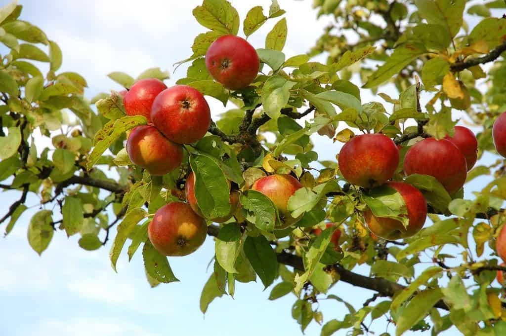 Сценарии праздника «Яблочный спас»