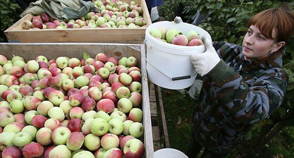 «Милосердие» собирает яблоки для бездомных Москвы