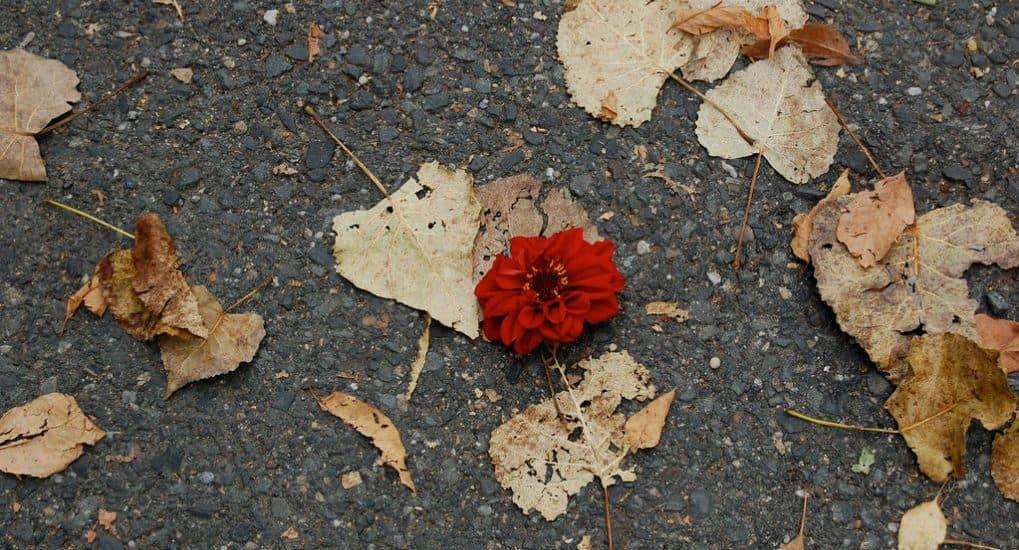 Чем вреден цветок с похорон?