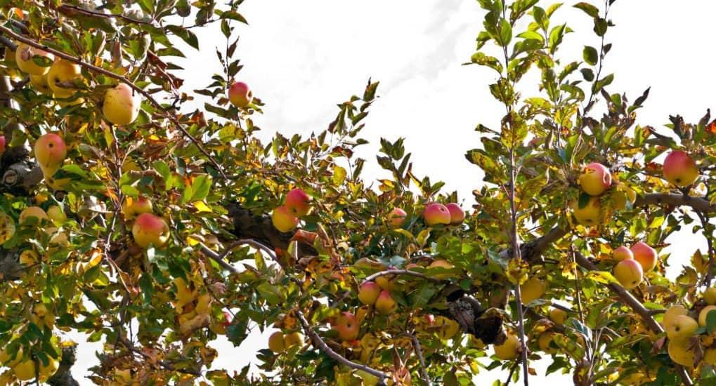 Как я научился уважать яблоки — история про Преображение