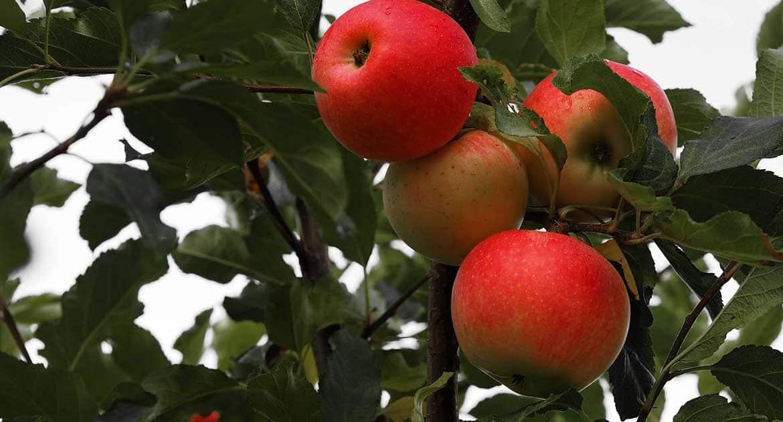 Грех ли собирать яблоки в заброшенном саду?