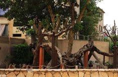 Неизвестные вандалы срубили в пригороде Каира «Дерево Марии»